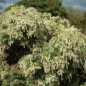 PIERIS JAPONICA 'LITTLE HEATH GREEN'