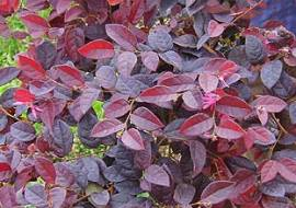 LOROPETALUM CHINENSIS 'FIRE DANCE'