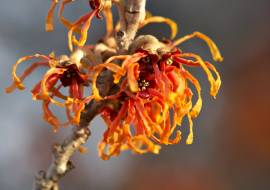 HAMAMELIS INTERMEDIA 'ORANGE BEAUTY'